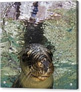 Sea Lion Portrait, Los Islotes, La Paz Acrylic Print by Todd Winner
