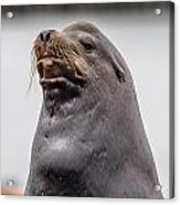 Sea Lion Satisfaction Acrylic Print