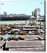Sea Lions At Pier 39 San Francisco California . 7d14309 Acrylic Print by Wingsdomain Art and Photography