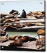 Sea Lions At Pier 39 San Francisco California . 7d14316 Acrylic Print