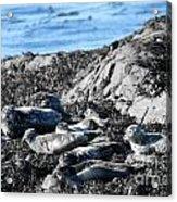 Sea Lions In Alaska Acrylic Print