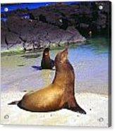 Sea Lions On Genovesa Island Acrylic Print