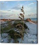 Sea Oat Acrylic Print