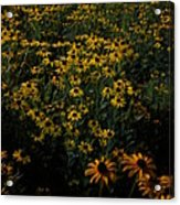 Sea Of Black-eyed Susans Acrylic Print