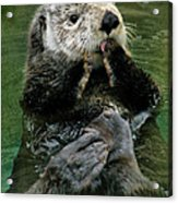 Sea Otter Acrylic Print