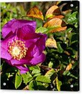Sea Rose Srp Acrylic Print
