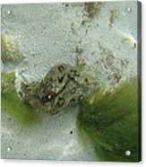 Sea Slug Acrylic Print
