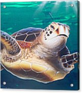 Sea Turtle Acrylic Print by Mike Royal