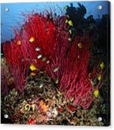 Sea Whips And Soft Coral, Fiji Acrylic Print