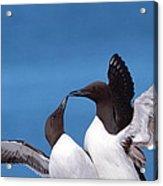 Seabird Love Acrylic Print