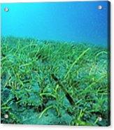 Seagrass Acrylic Print