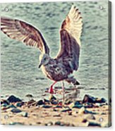 Seagull Flaps Acrylic Print