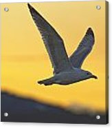 Seagull Flying At Dusk With Sunset Acrylic Print by Robert Postma