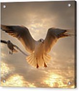 Seagull Acrylic Print by GilG Photographie