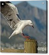 Seagull Landing On Pole Acrylic Print