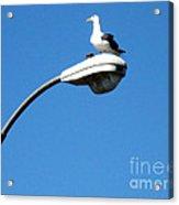 Seagull On Street Light Acrylic Print