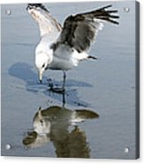 Seagull Reflection Acrylic Print