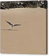 Seagull Spreads Its Wings On The Beach  Acrylic Print