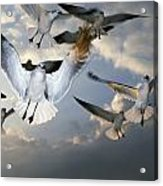 Seagulls In Flight Acrylic Print by Natural Selection Ralph Curtin