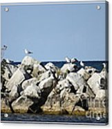 Seaguls On Boulders In Lake Erie Acrylic Print