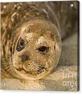 Seal 1 Acrylic Print