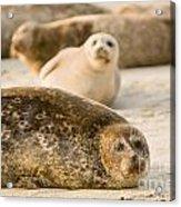Seal 3 Acrylic Print