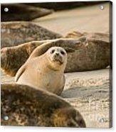 Seal 4 Acrylic Print