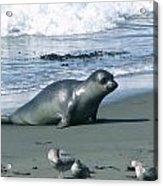 Seal And Seagulls At Piedras Blancas Beach Acrylic Print