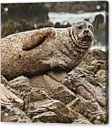 Seal Old Timers Acrylic Print
