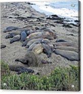 Seal Spa. Sand Bath Acrylic Print