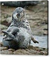 Seal Stretch Acrylic Print