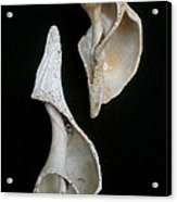 Seashell 031 Acrylic Print
