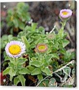 Seaside Fleabane Flowers Acrylic Print