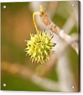 Seed Pod On Sycamore Tree Acrylic Print