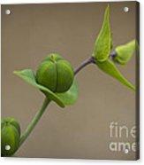 Seed Pods Acrylic Print