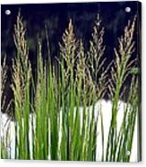 Seedy Grass Acrylic Print