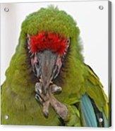 Self-conscious Parrot Acrylic Print by Naomi Berhane