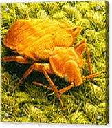 Sem Of A Bed Bug Acrylic Print