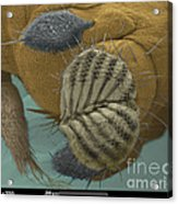 Sem Of A Fruit Fly Mouth Acrylic Print