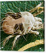 Sem Of Two-spotted Spider Mite Acrylic Print