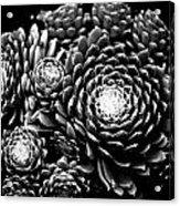 Sempervivum Acrylic Print