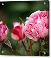 Sentimental Rose Acrylic Print