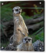 Sentry Acrylic Print by Skip Willits