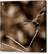 Sepia Dragonfly Acrylic Print