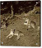 Sepia Lionesses Acrylic Print