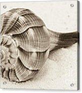 Sepia Shell Acrylic Print