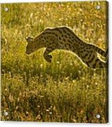 Serval Cat Pouncing Serengeti Acrylic Print