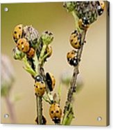Seven-spot Ladybirds Eating Aphids Acrylic Print