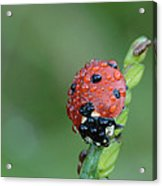 Seven-spotted Lady Beetle On Grass With Dew Acrylic Print