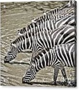 Several Thirsty Zebra Acrylic Print